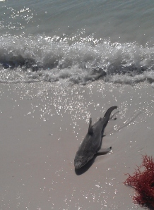 shark closer