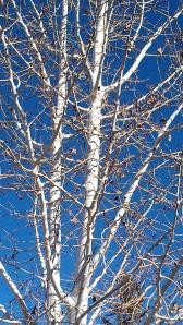 white bark blue sky