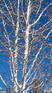 white bark blue sky