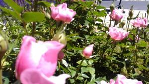 roses pink bush