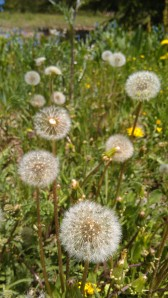 hike dandelions - Copy