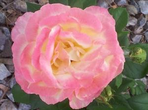 roses backyard 1