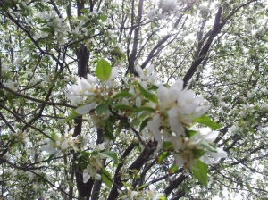 tree with blossom (2)