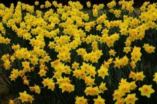 daffodils (1)